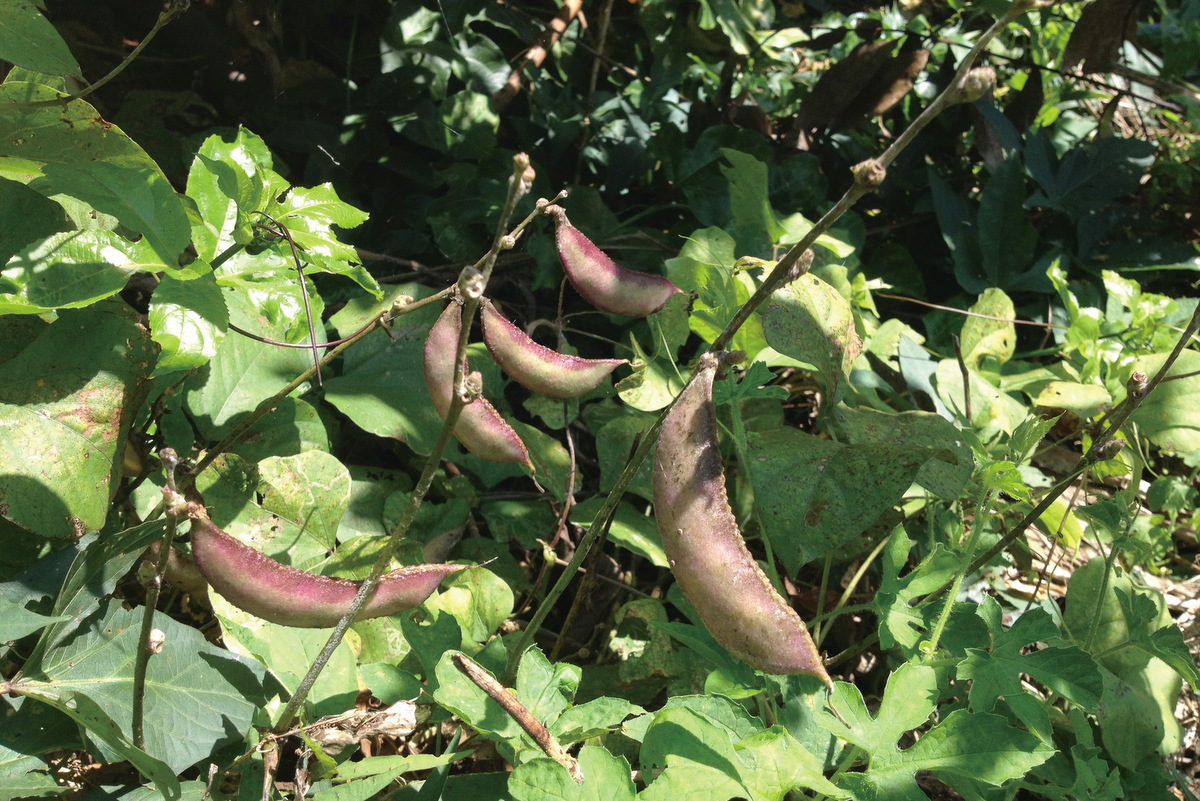 豆類屬旱作,適合在缺水區種植,有助於水資源維護
