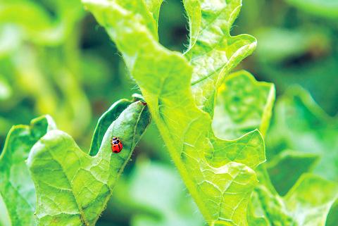 瓢蟲,龜紋瓢蟲