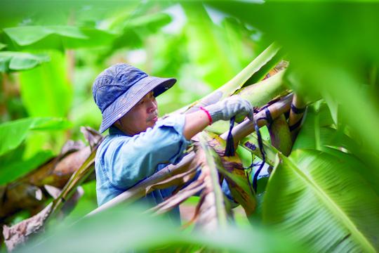 颱風過境後的農務繁重