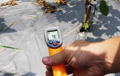 中午時刻塑膠布上溫度飆升至78度