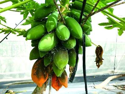 木瓜病蟲害