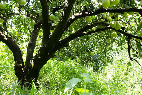 東豐文旦柚樹