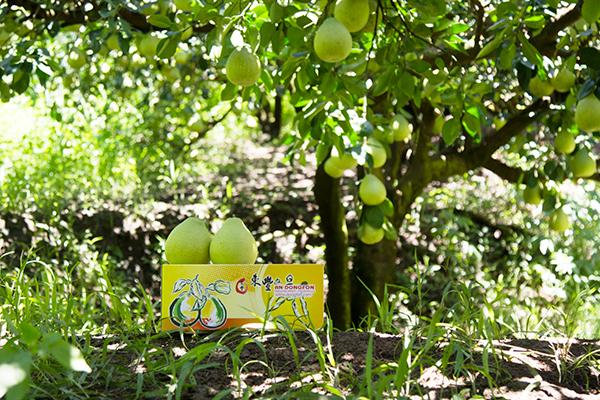 東豐有機文旦柚禮盒